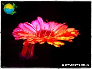 Marrigold Flower